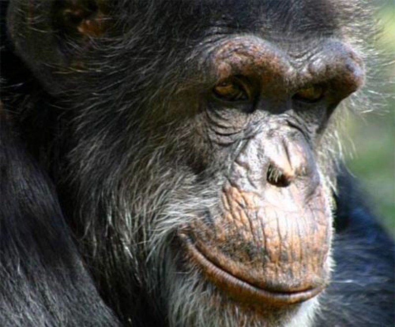 Bili Apes - Giant Lion-Eating Chimp (Chimpanzee) Subspecies ... 7dee0f955b9