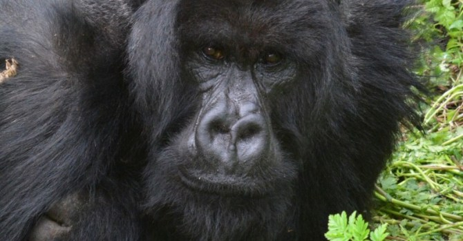 Mountain gorilla face