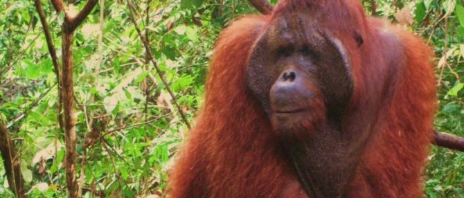 Orangutan male