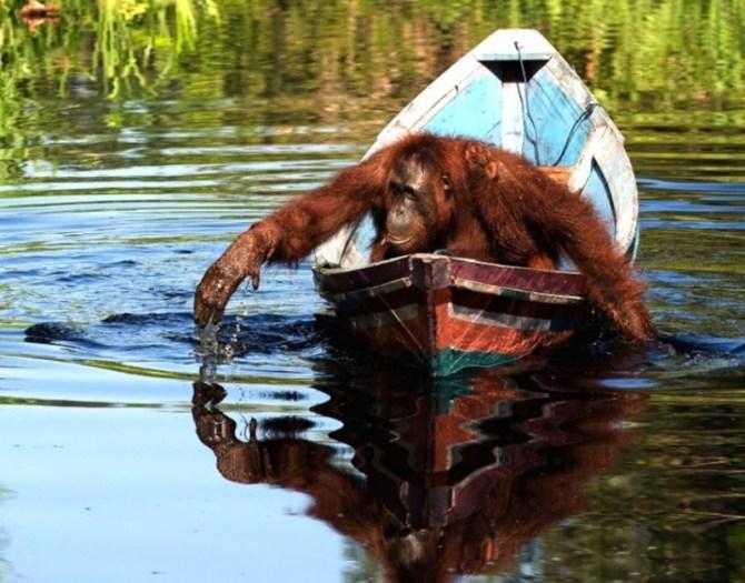 Orangutan in boat