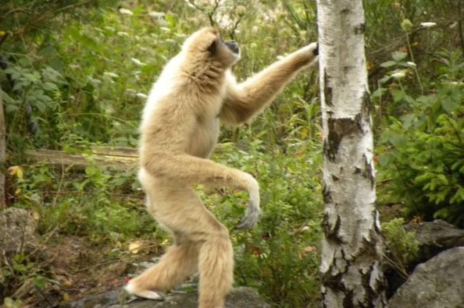 Lar gibbon walking upright