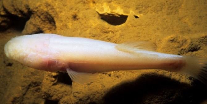 Alabama cavefish