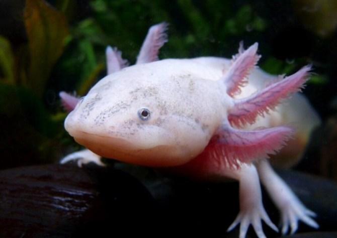 Axolotl Mexican Salamander