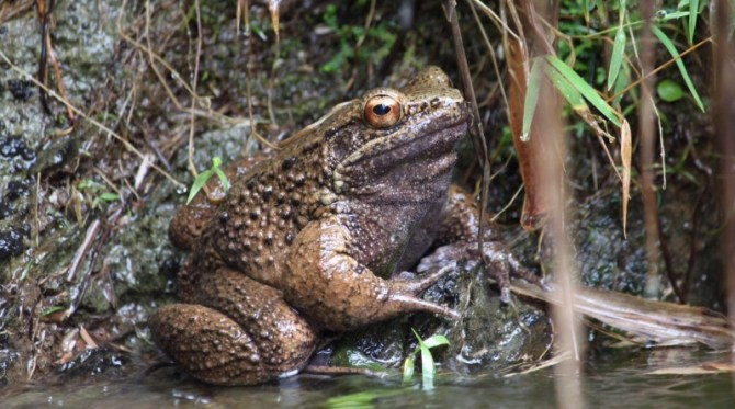 Otton frog