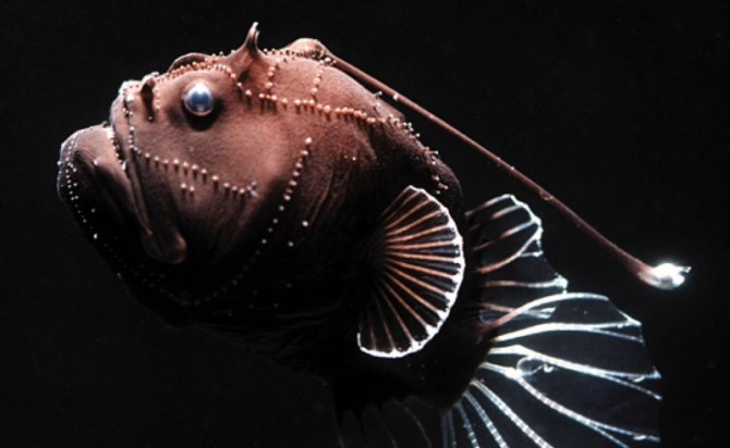 Angler fish deep ocean