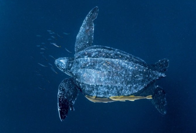 Giant Leatherback Sea Turtle