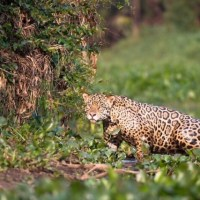 Jaguar Cat -- Animal Facts, Images, & History
