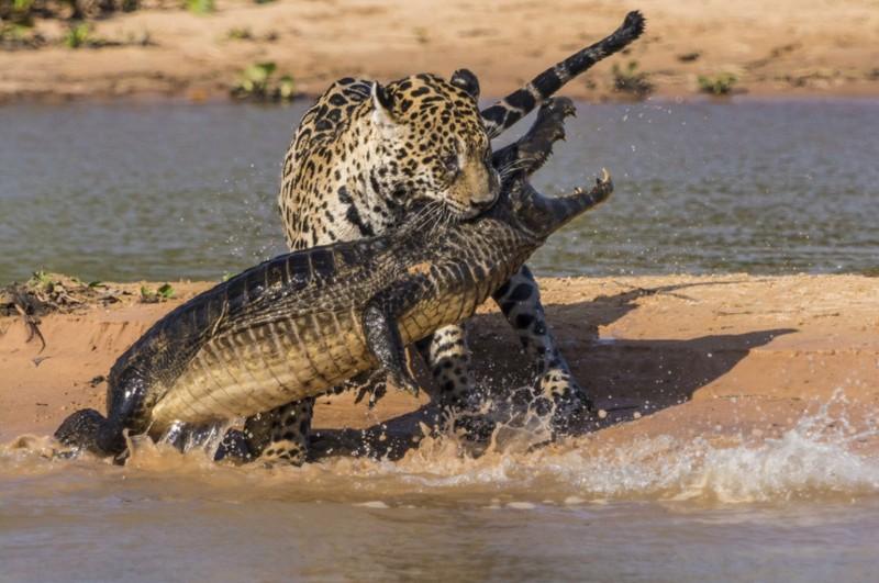 Jaguar Hunting Caiman Croc