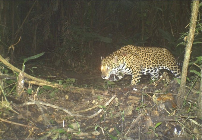 Jaguar hunting at night