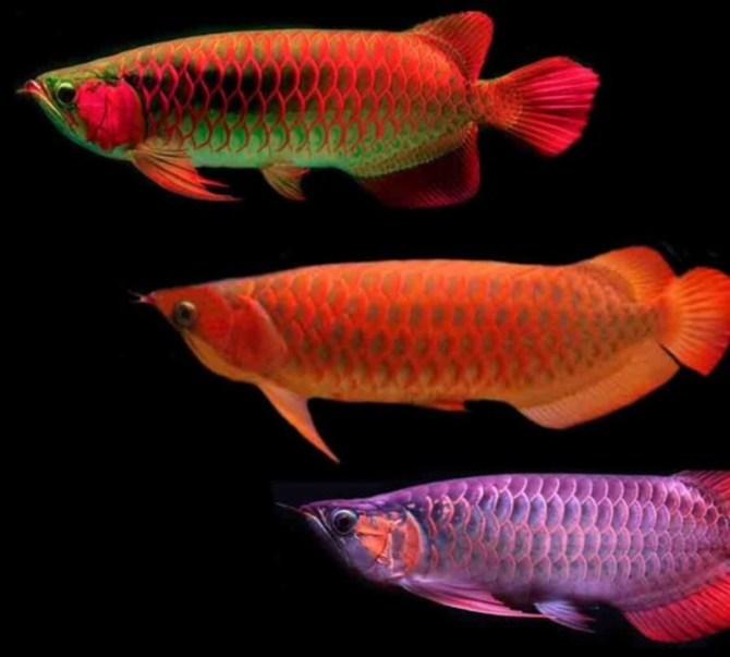 Dragonfish Asian Arowana