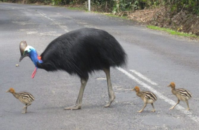 Cassowary on road with chicks