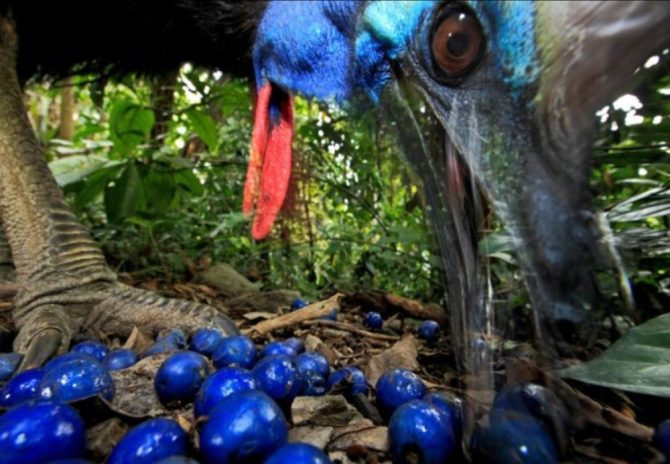 Southern cassowary eating