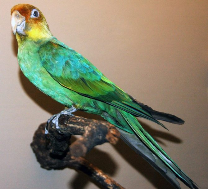 Stuffed Carolina parakeet stuffed
