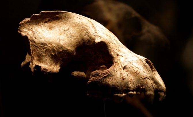 Hyena European cave skull fossil