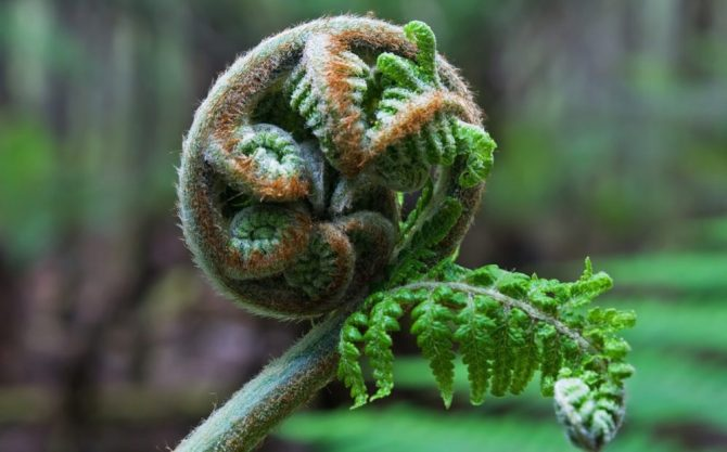 Unfurling frond tree fern