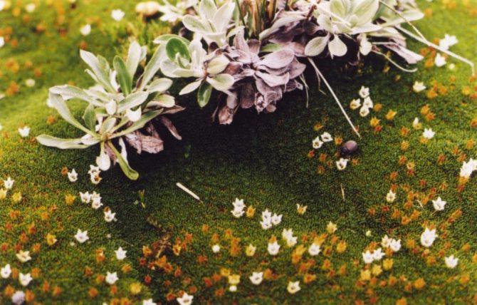 Cushion plant flowers