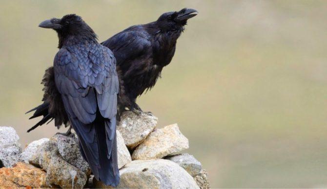 Pair of crows