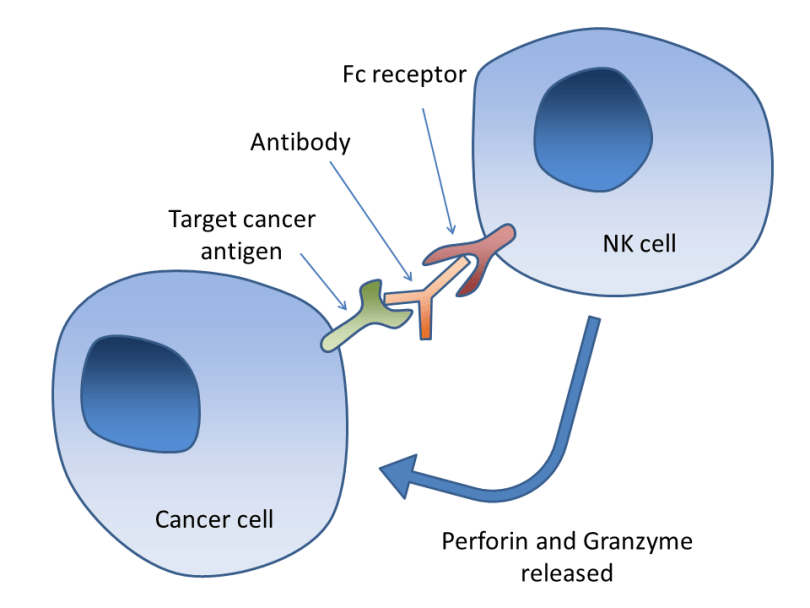 Antibody-dependent-cell-mediated-cytotoxicity
