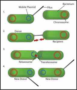 Bacterial-Conjugation