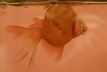 goldfish_with_swim_bladder_disease