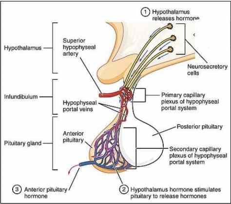 The_Anterior_Pituitary_lobe