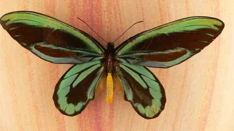 The_queen_alexandra's_birdwing_ornithoptera_alexandrae