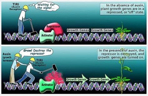effect_of_plant_hormones_on_plant_growth
