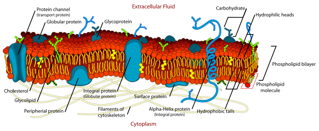 The Fluid Mosaic Model of the plasma membrane as proposed by Singer and Nicholson.