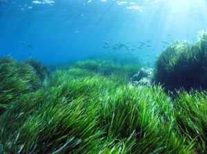 Pesquisa indica que capim-marinho Posidonia Oceânica captura naturalmente a poluição plástica
