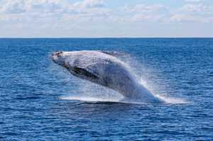 Finalmente há sinais da recuperação de algumas espécies de baleia, 40 anos após o fim da caça comercial