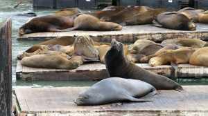 Despejo Quimico na California afeta saúde dos Leões Marinhos causando Câncer