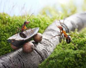 Poder cerebral coletivo: Formigas usam sua sociedade para superar obstáculos