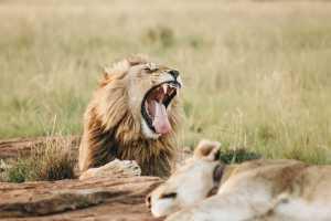 Leões bocejam quando estão relaxados e se comunicar socialmente