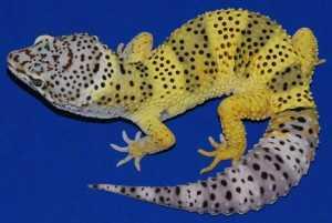 Como uma lagartixa chamada Frosty poderia ajudar a lançar uma nova luz sobre o câncer de pele