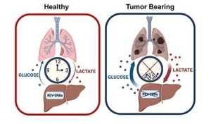 Perda de regulação circadiana permite aumento na produção de glicose durante o câncer de pulmão