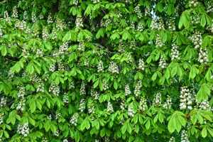 Nova molécula encontrada em folhas de castanha desarma bactérias estafilocócicas perigosas