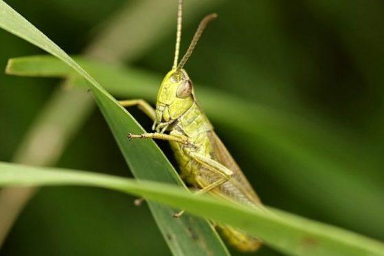 grasshopper-2497947_960_720