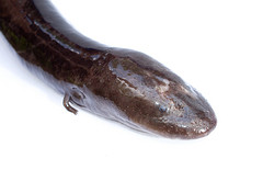 Two Toed Amphiuma