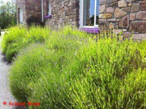 My Lavender Garden