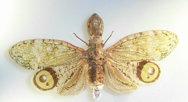 Mystery Monday reveal – the peanut head bug