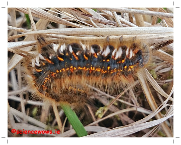 The Drinker Moth Caterpillar