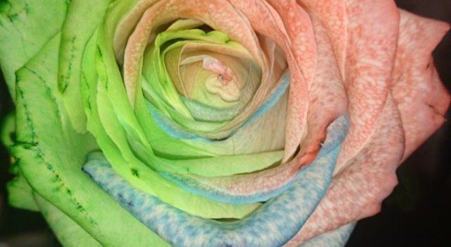 Fun Friday…. multi-coloured rose experiment