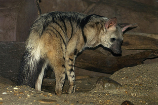 Mystery Creature revealed - The Aardwolf - Dr  How's Science