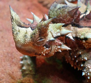 The  entire surface of the Thorny Devil is covered in  spiky scales but to defend rather than to harm! photo credit: ccdoh1 via photopin cc