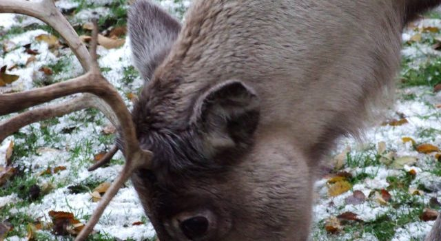 What do reindeer really like to eat (and other random facts)?