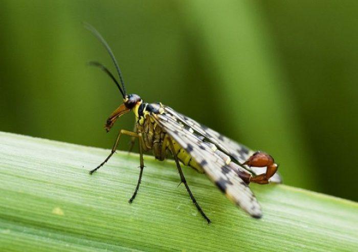 Scorpion_fly