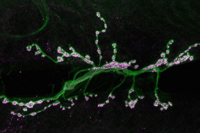 Motor neurons (green) form synapses (highlighted in magenta) on muscle fibers in a fruit fly. MIT neuroscientists have discovered a pathway that contributes to strengthening these synapses.