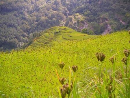 Finger millet field. Credit: Image courtesy of University of Guelph