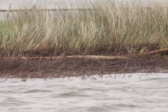 Oil from the 2010 Deepwater Horizon spill in the Gulf of Mexico killed marsh grasses where it washed ashore in Louisiana's Barataria Bay. Credit: Duke University