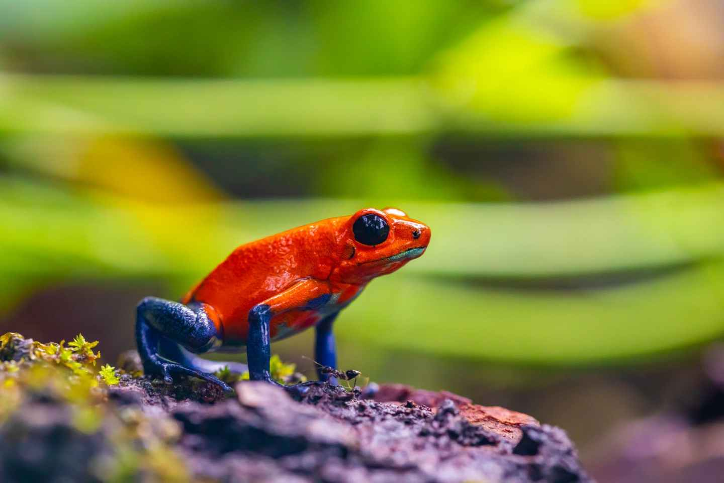 selective focus photo of red and blue frog on ground